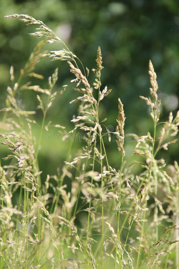 Meadow grass in the summer royalty free stock photography