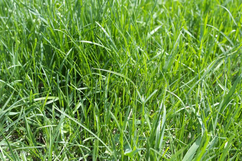 Meadow grasses illuminated by the sun. Juicy bright green grass. Stems, leaves. Background royalty free stock photo