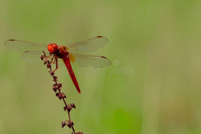 Meadow-Hawk Dragonfly cardinal foto de archivo libre de regalías