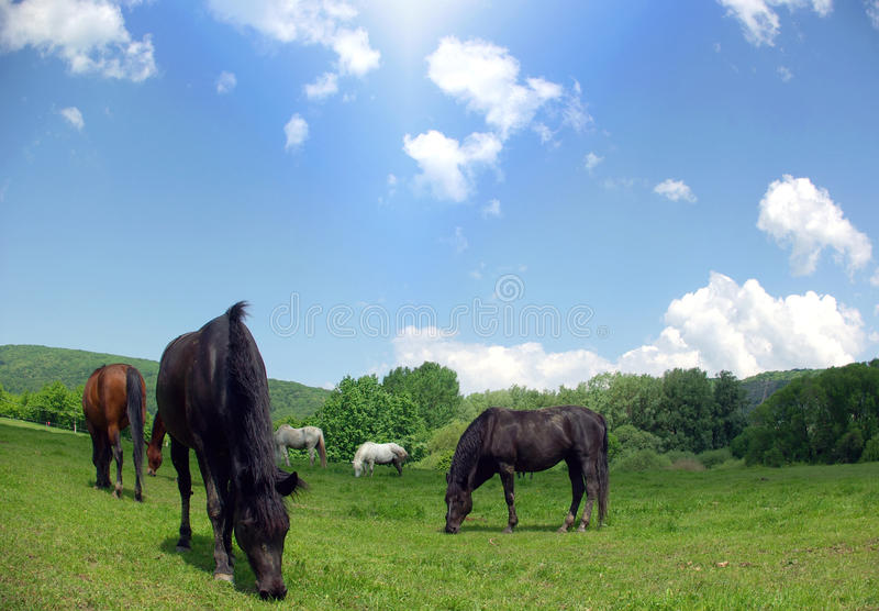 Meadow of horses stock image