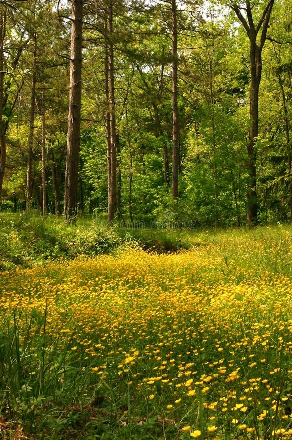 Download Meadow jaskier obraz stock. Obraz złożonej z greenbacks - 137565