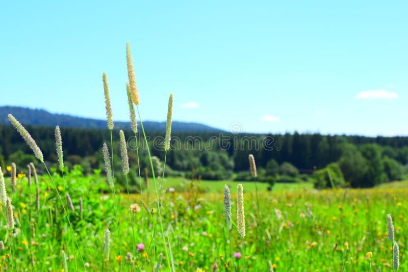 meadow kwitnąca obrazy royalty free