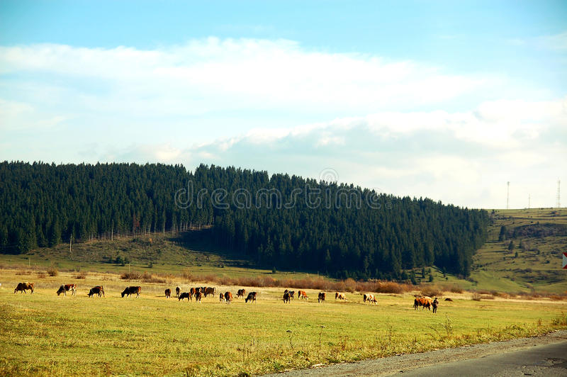 Download Meadow Landscape With Grazing Cows Stock Image - Image: 13328935