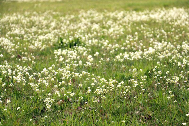 Meadow with wild spring flowers royalty free stock images