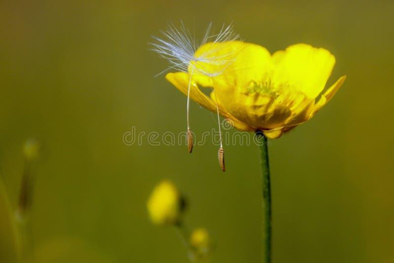 Dandelion parachute stock image