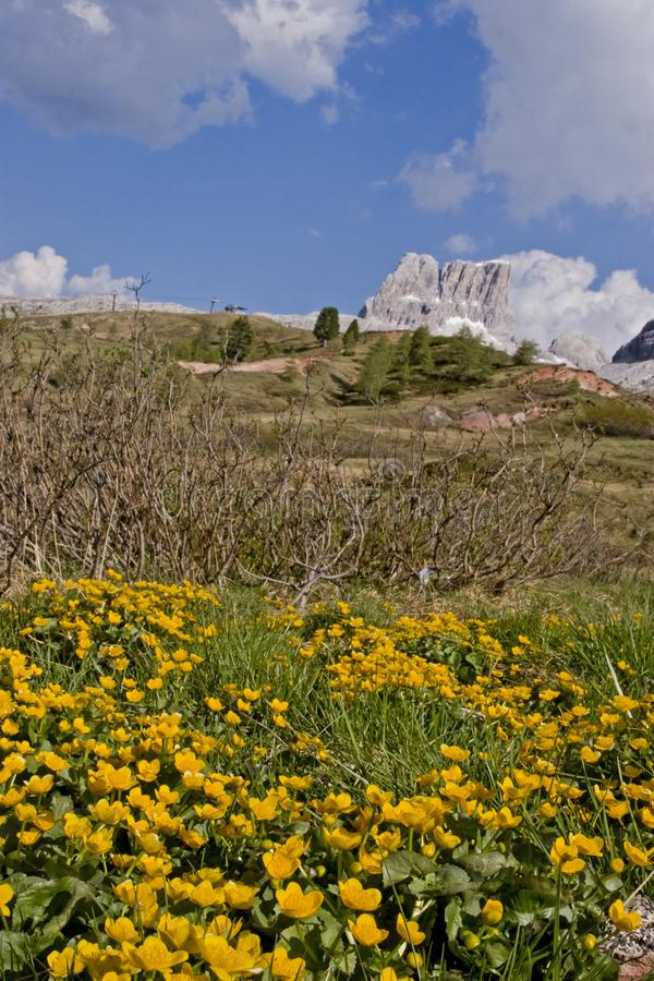 Meadow with marsh marigolds on the Falzarego pass royalty free stock image