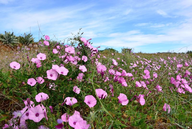 Download Meadow Of Morning Glory Flowers Stock Photo - Image: 83709254