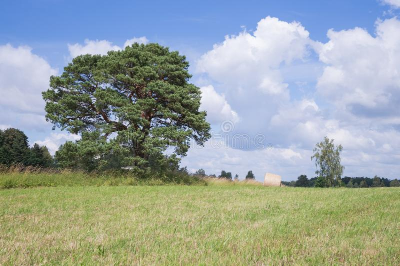 Meadow and old pine. Blue sky and yelow grass. royalty free stock images