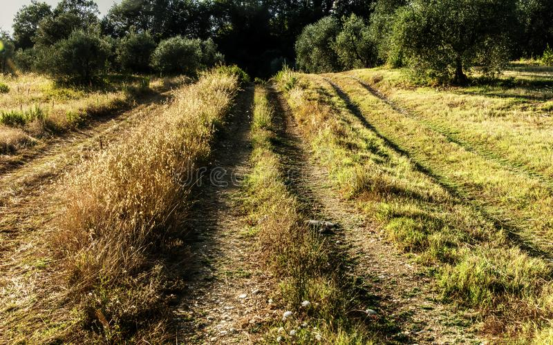 Dirt track in the Tuscan countryside. A meadow between olive groves shows the ruts of occasional farm vehicles lit in the sunrise royalty free stock images