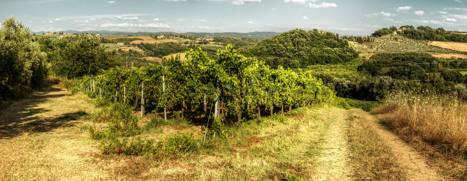 Vineyard and track in the Tuscan countryside. A meadow between olive groves and vines shows the ruts of occasional farm vehicles lit in the sunrise stock photo