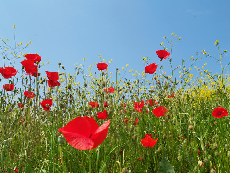 Download Meadow With Opium Stock Images - Image: 14163204