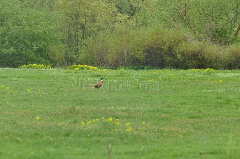 Meadow with Pheasant. In the spring time stock photo