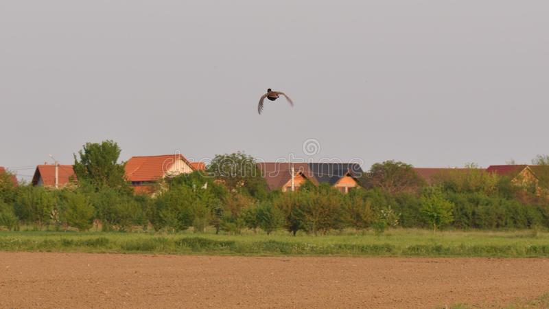 Flying pheasant. Meadow with pheasant in the spring time royalty free stock images