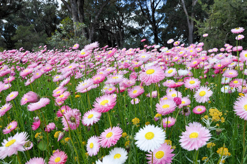 Meadow of Pink Daisies royalty free stock photos