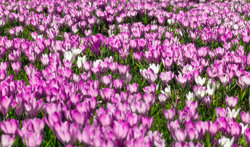 Meadow of pink and white crocus flowers royalty free stock photography