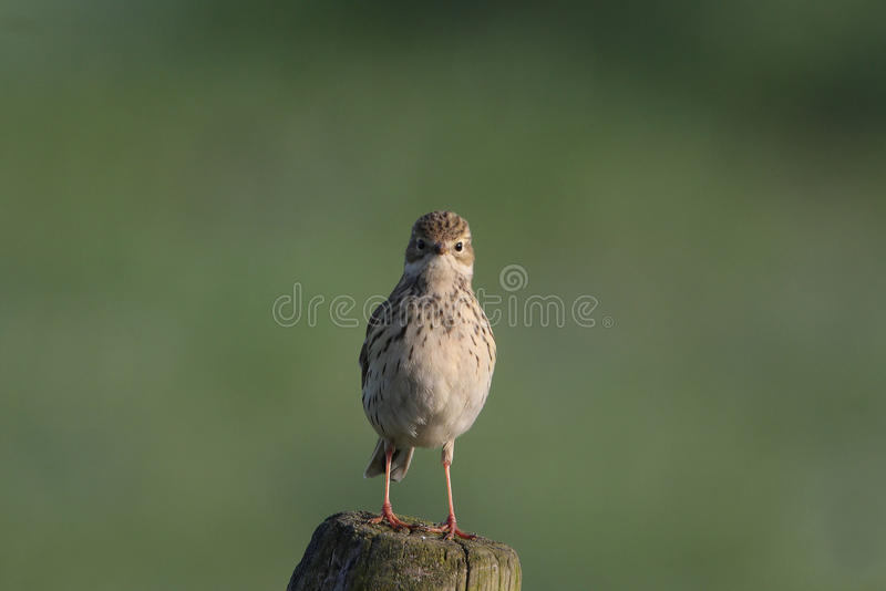 Download Meadow pipit stock image. Image of fauna, feathers, bird - 21807985