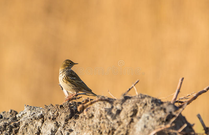 Download Meadow Pipit stock image. Image of rock, feathers, colors - 28609197