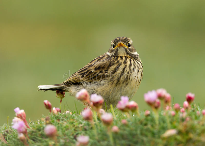 Meadow pipit (Anthus pratensis) royalty free stock photos