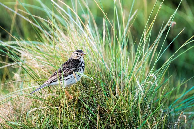 Meadow Pipit showing his plumage. N long green summer grass stock photos