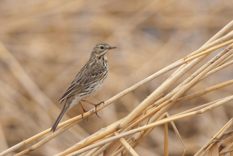 Meadow Pipit. Standing on a reed straw in spring royalty free stock photos
