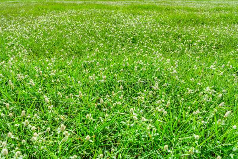 The meadow of Poaceae. It is also called Gramineae or true grasses stock photography