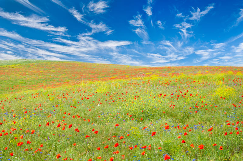 Meadow with poppies, cornflowers, yellow flowers stock photo