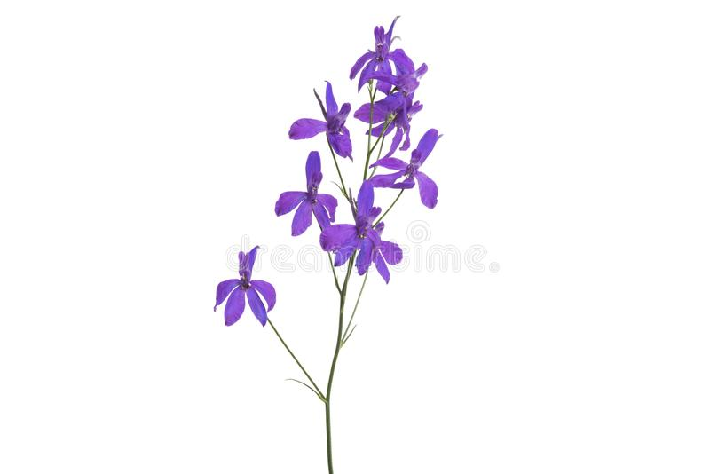 meadow purple flower isolated royalty free stock photography
