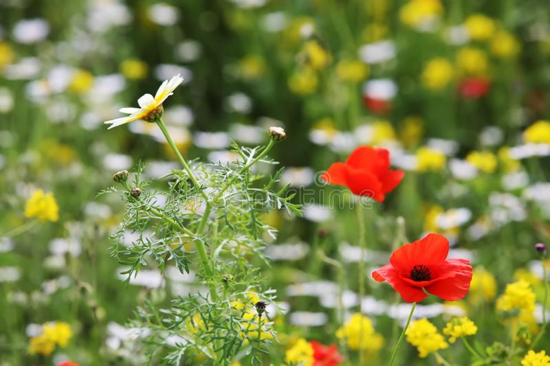 Meadow of red poppies. And chamomile closeup stock photography
