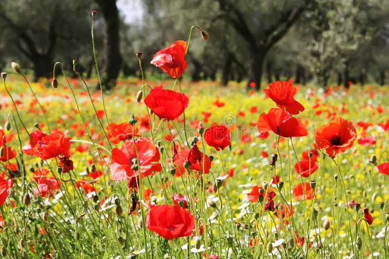 Meadow of red poppies. With trees royalty free stock photography