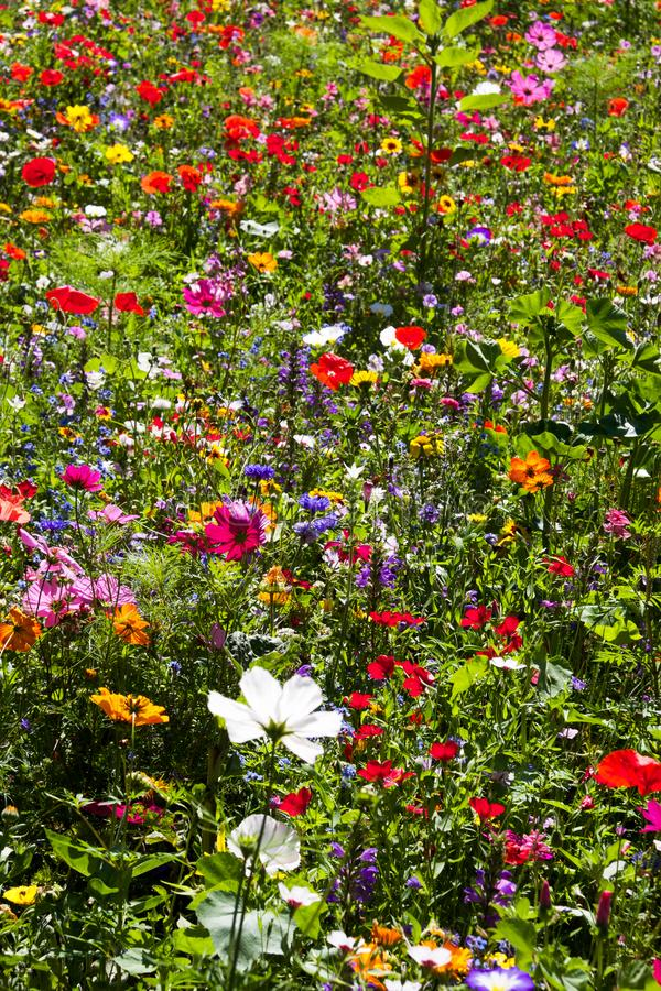 Meadow of richly coloured summer wild flowers stock photography