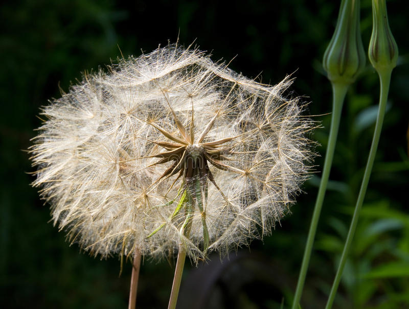 Meadow-salsify-seed stock image