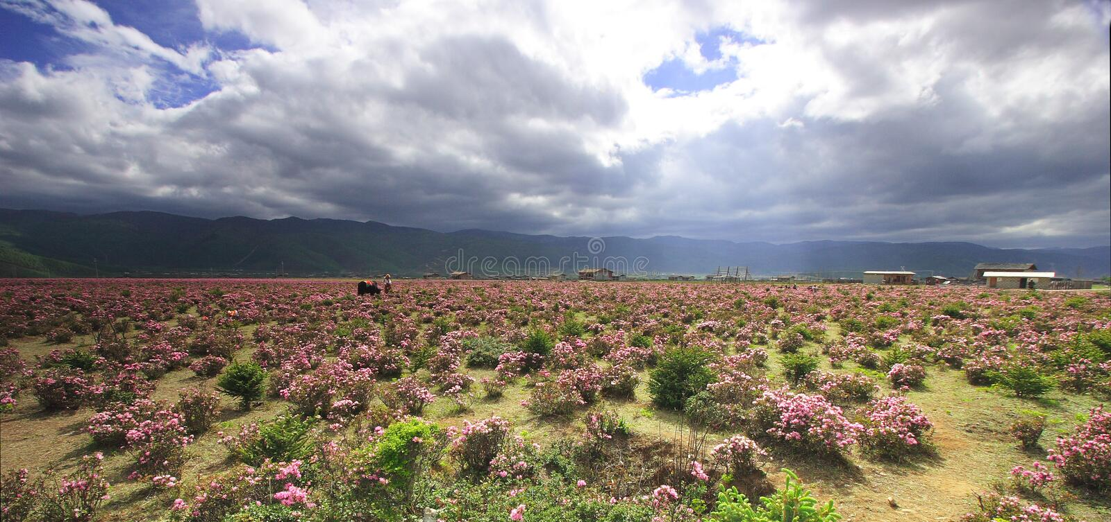 Meadow of Shangri-La. Shangri-La is a fictional place described in the 1933 novel Lost Horizon by British author James Hilton. In the book, Shangri-La is a stock photos