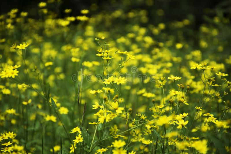 Meadow of small yellow flowers at Kaas plateau, Maharashtra, India stock photos