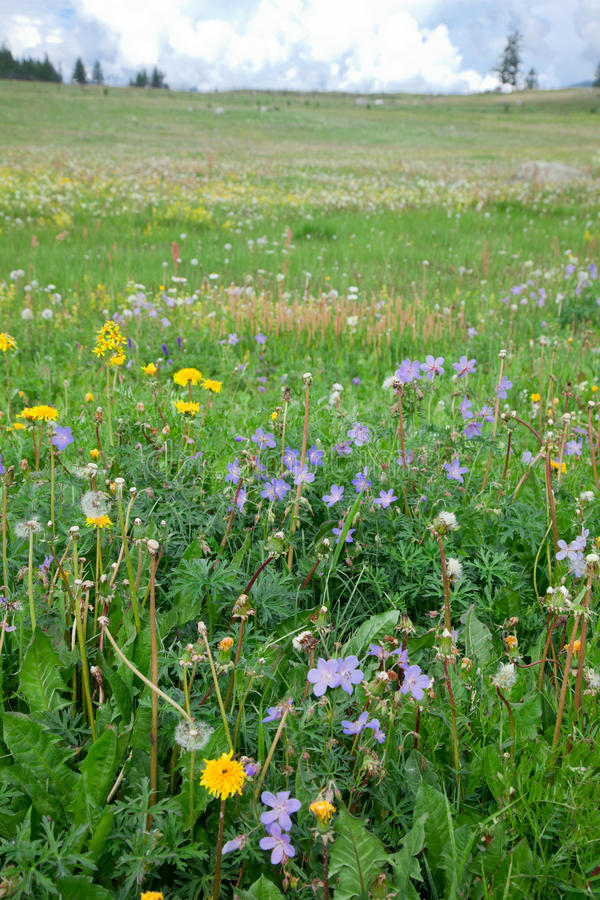 Meadow on a summer day royalty free stock image