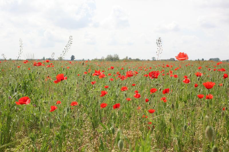 Meadow at summer time full of poppies  with copy space for your text royalty free stock photography