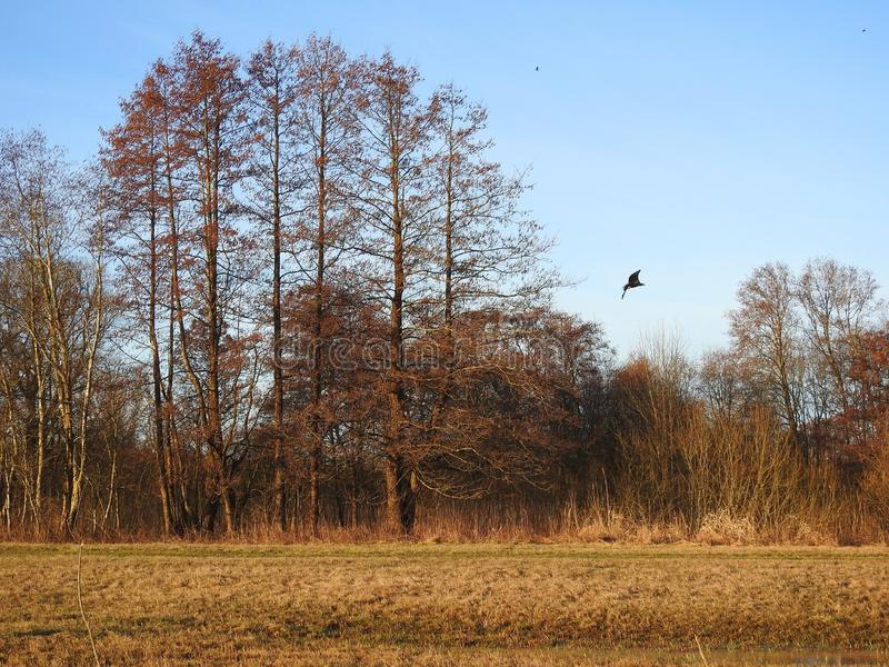 Field , trees and flying eagle bird, Lithuania. Meadow, trees and flying eagle bird sunny morning in spring royalty free stock photos