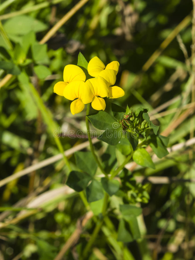 Meadow vetchling, Lathyrus pratensis, blossom close-up, selective focus, shallow DOF royalty free stock images