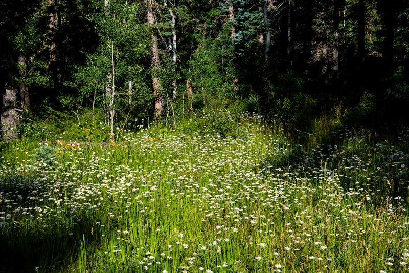 A meadow of white daisies in a clearing in an alpine forest. A sunny forest meadow of white daisies in the Rocky Mountains near Pagosa Springs, Colorado royalty free stock photo