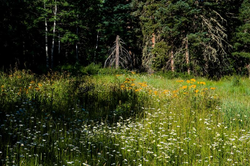 A meadow of white daisies and yellow wildflowers in a clearing in an alpine forest. A sun-dappled forest meadow of white daisies and yellow flowers in the Rocky royalty free stock images