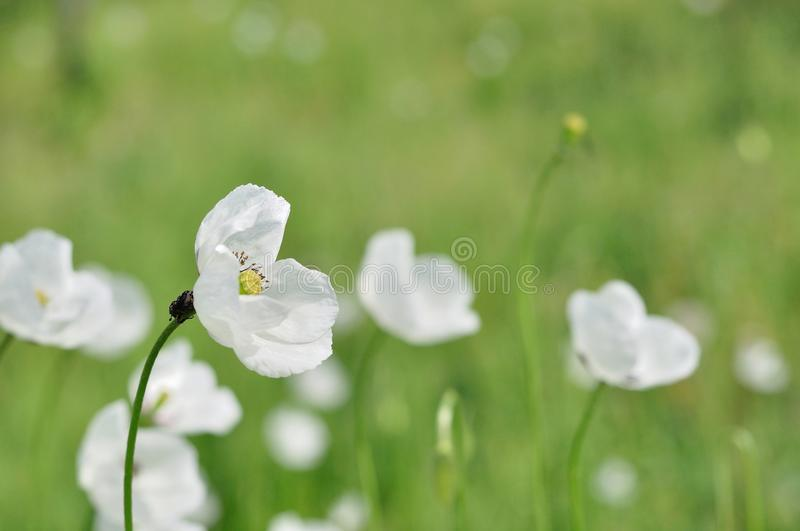 Meadow with white flowers in spring stock photography