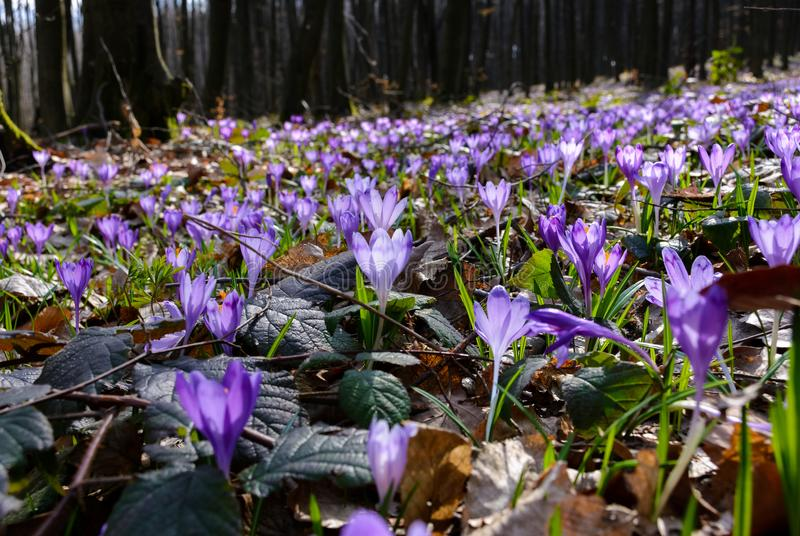 Meadow with wild crocuses in forest stock image
