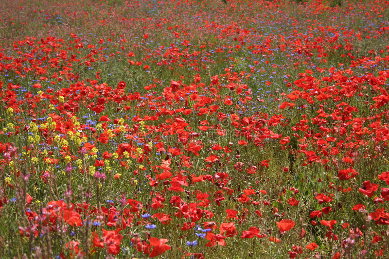 Download Meadow with wild flowers stock image. Image of colors - 6369583