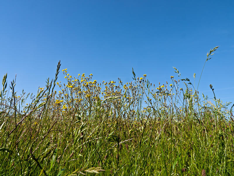 Download Meadow With Wild Flowers And Grass Stock Image - Image: 24529575