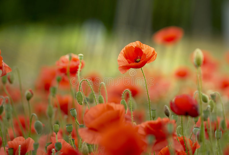 Download Meadow of wild poppies stock image. Image of poppy, poppies - 7289629