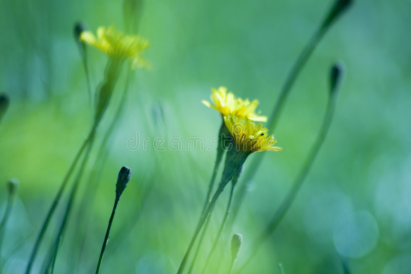 Meadow yellow flower details royalty free stock photography