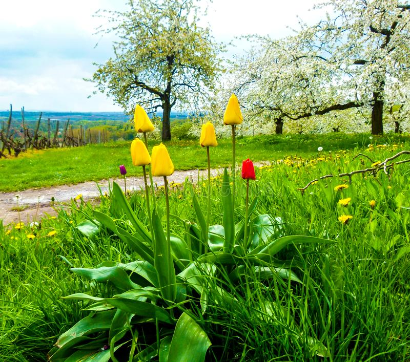 Meadow with yellow and red tulips and flowering fruit trees in the background stock photos