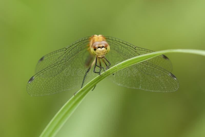 Meadowhawk蜻蜓 免版税图库摄影