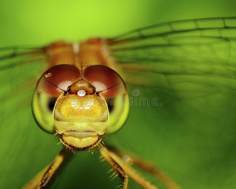Meadowhawk Dragonfly stock photography