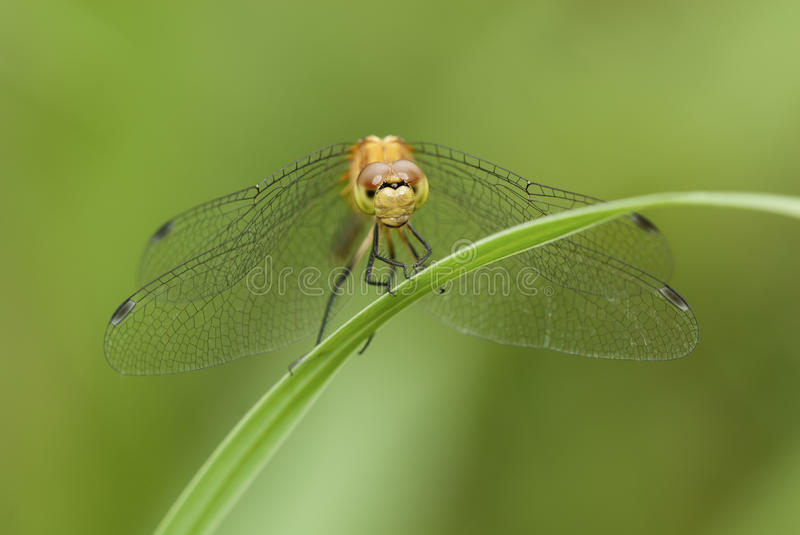 Meadowhawk Dragonfly royalty free stock photography