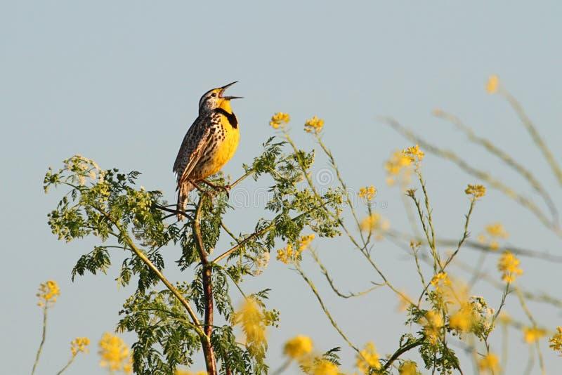 meadowlark西部neglecta的雀形目鸟 免版税图库摄影